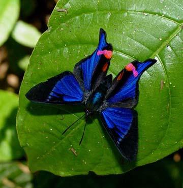 Rhetus periander D GC 011303 Cana 105