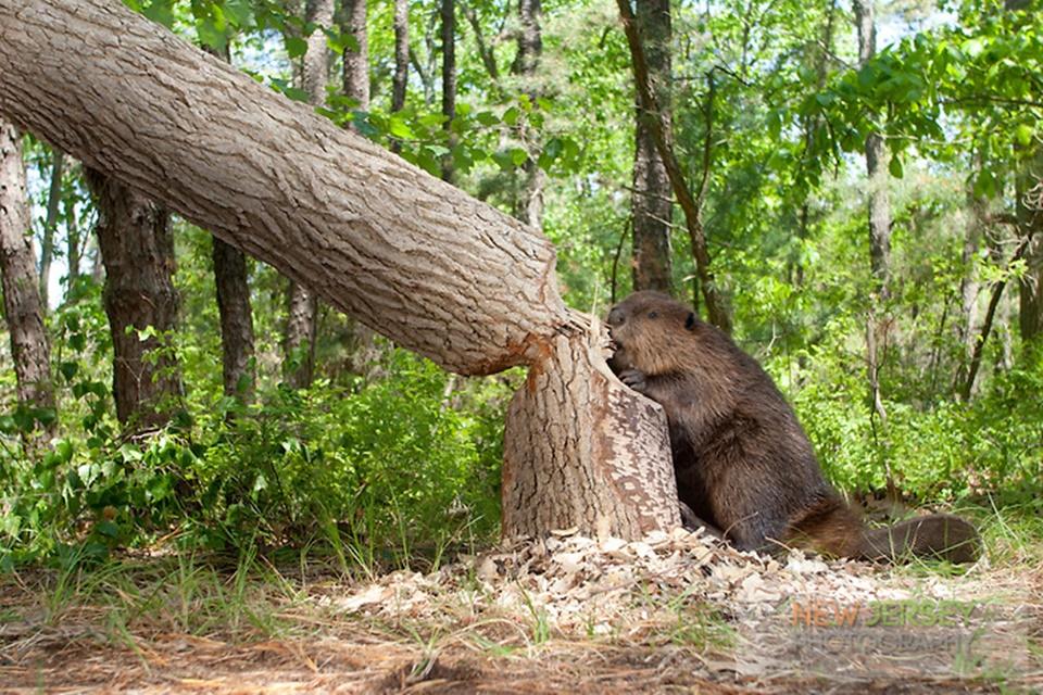 Beaver, cutting down a large oak tree, New Jersey